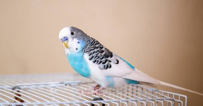Blue and white Budgerigar sitting on a cage
