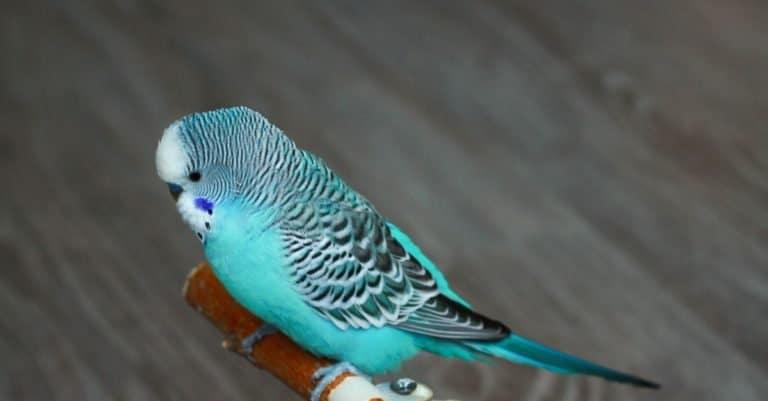 Blue budgerigar sitting on a perch