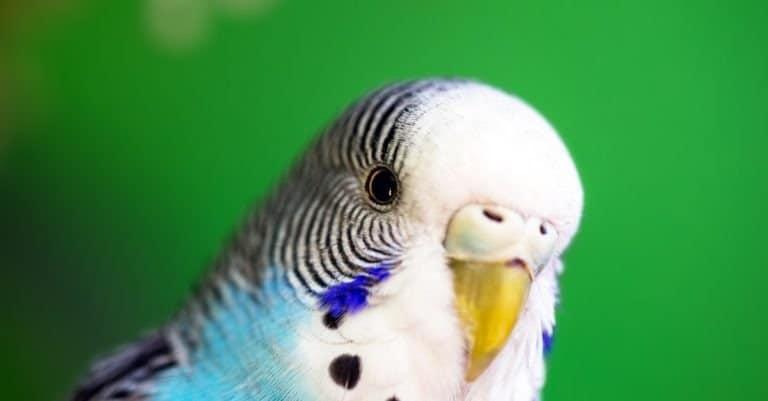 Budgerigar or common parakeet
