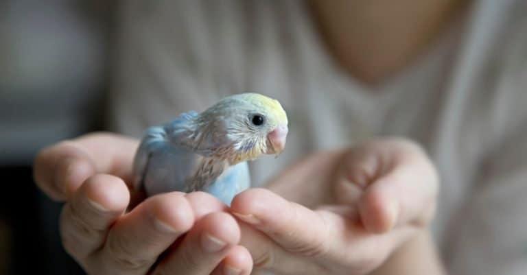 Budgerigar chick