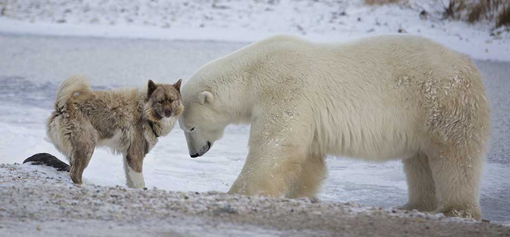 A Canadian Eskimo Dog hangs out with polar bear