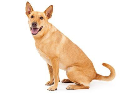 A Carolina Dog