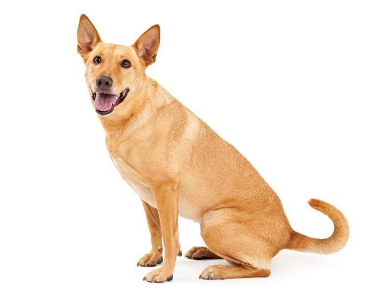 Carolina dog on white background