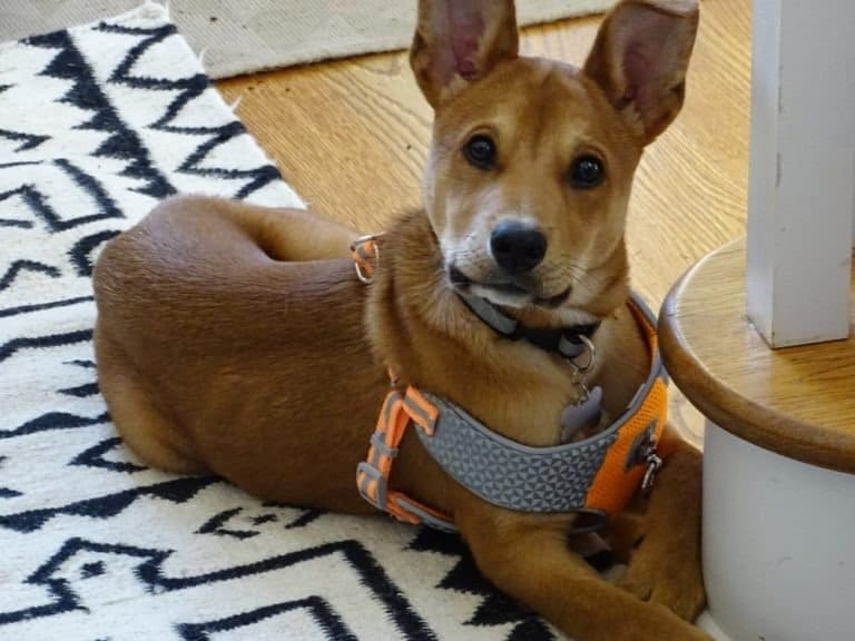 Carolina dog puppy