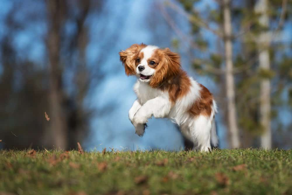 Cavalier King Charles Spaniel (Canis familiaris) - puppy jumping