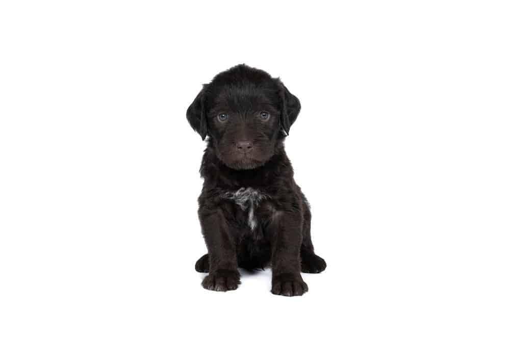 Cesky Fousek puppy on white background