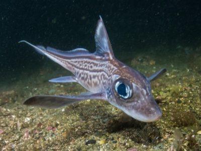 Rabbit fish (Chimaera monstrosa) in Trondheimfjord