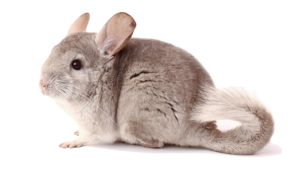Chinchilla (Chinchilla Lanigera) - standing against white background