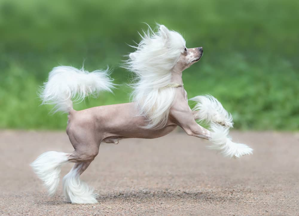 Chinese Crested Dog prancing like a pony