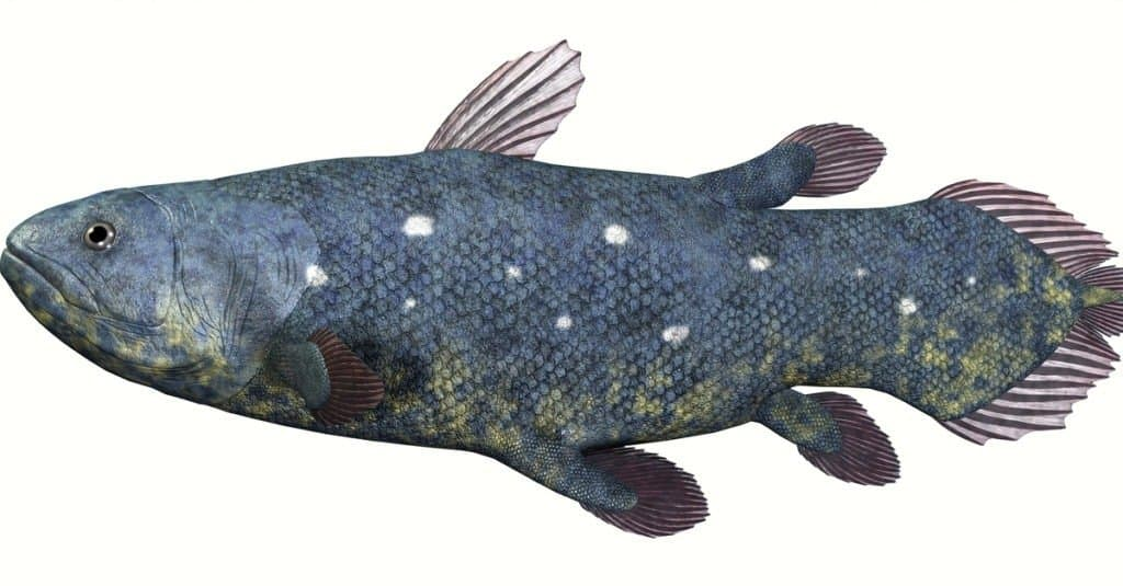 Coelacanth isolated on white background
