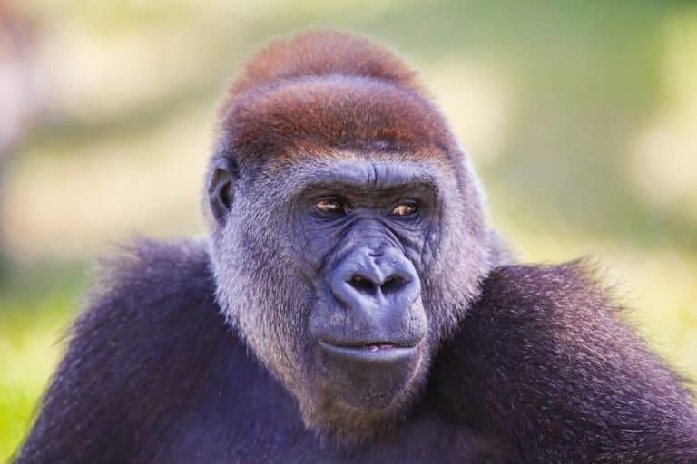 Portrait of the Cross River Gorilla