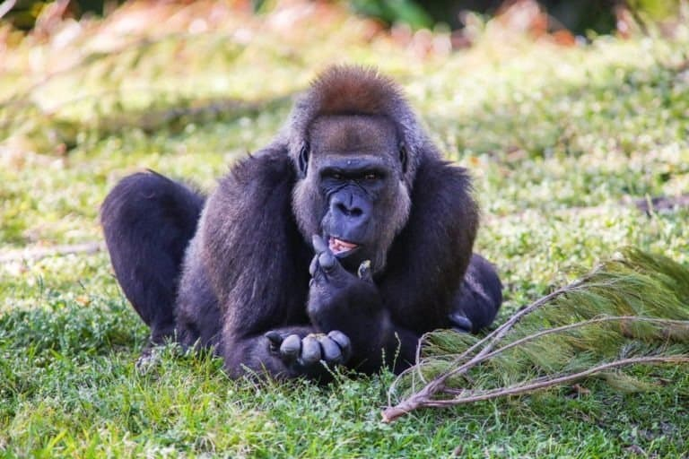 Cross River Gorilla resting in the shade of trees in the hottest time of the day.