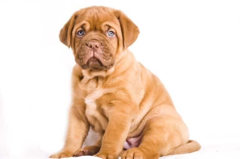 Adorable Dogue de Bordeaux puppy