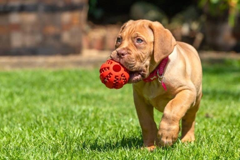 Dogue de Bordeaux puppy playing with ball