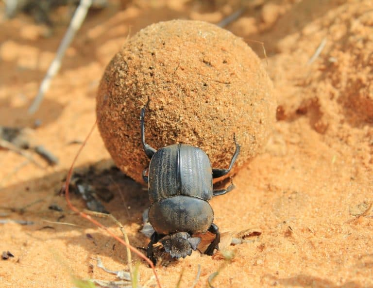 Dung Beetle (Scarabaeidae) - rolling dung with back legs