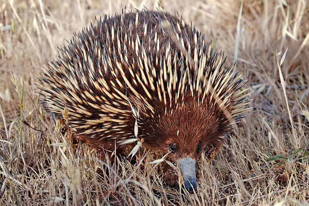 Echidnas rank among the laziest animals
