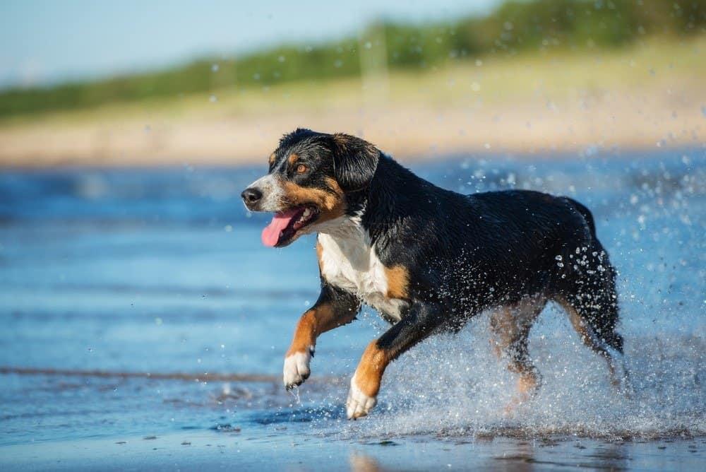 Entlebucher mountain dog running on a beach