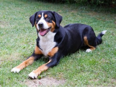A Entlebucher Mountain Dog
