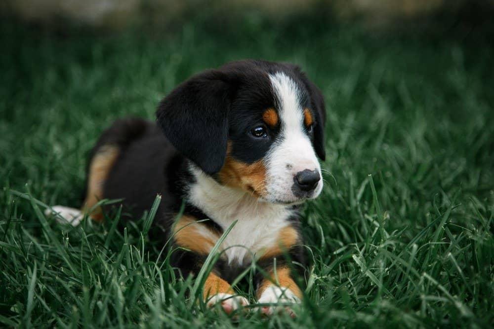 Entlebucher Mountain Dog puppy lying in grass