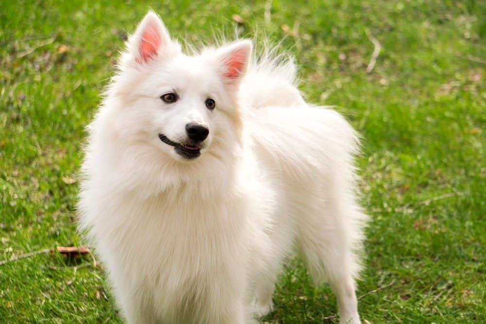 Eskimo dog in grass
