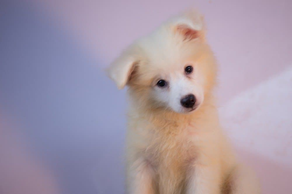 Eskimo dog puppy
