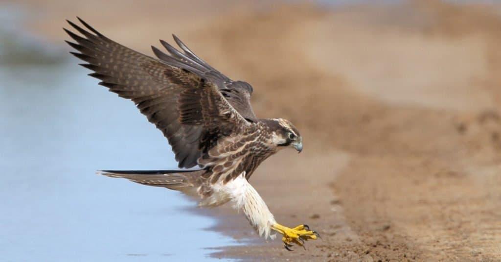 Lanner Falcon landing next to water in the Kalahari