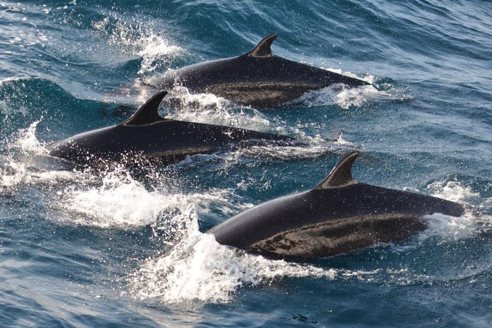 False killer whales swimming together