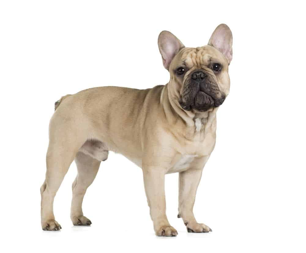 French Bulldog (Canis familiaris) - standing against white background