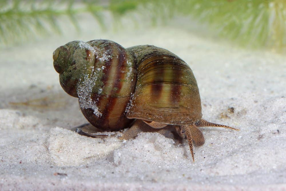 Freshwater Snails (Lymnaea stagnalis) - dangerous animal to humans - freshwater snails kill about 10000 humans annually