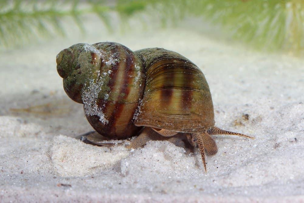 Caracoles de agua dulce (Lymnaea stagnalis) - animal peligroso para los humanos - los caracoles de agua dulce matan a unos 10000 humanos al año