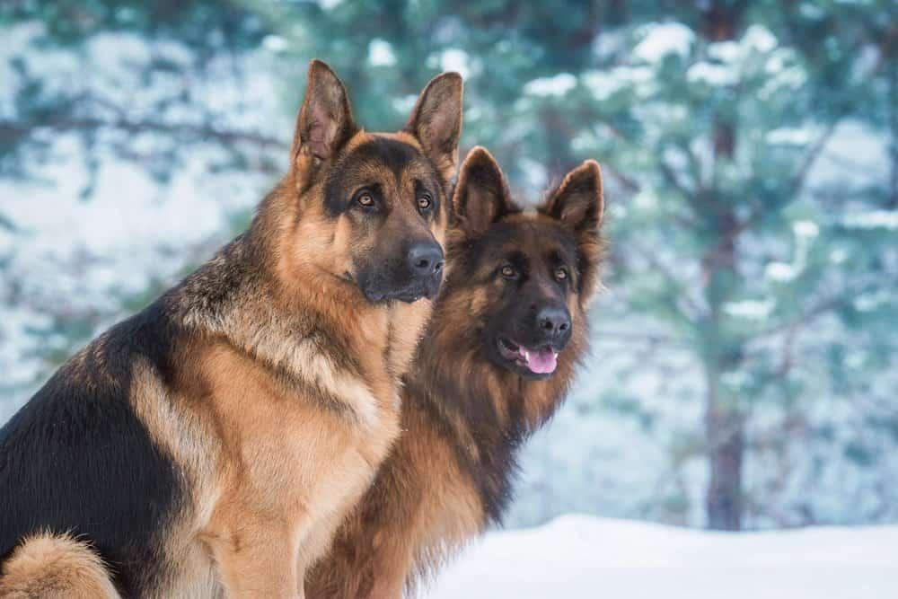 German shepherds in the snow