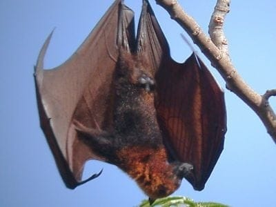 A Golden-Crowned Flying Fox