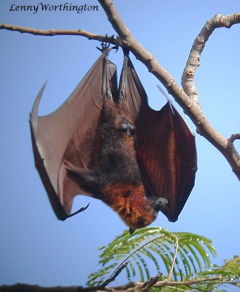Golden-Crowned Flying Fox hanging in a tree