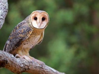 A Golden Masked Owl