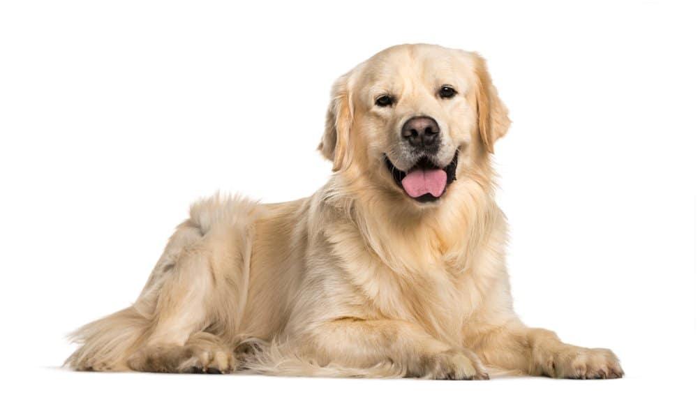Golden Retriever (Canis familiaris)