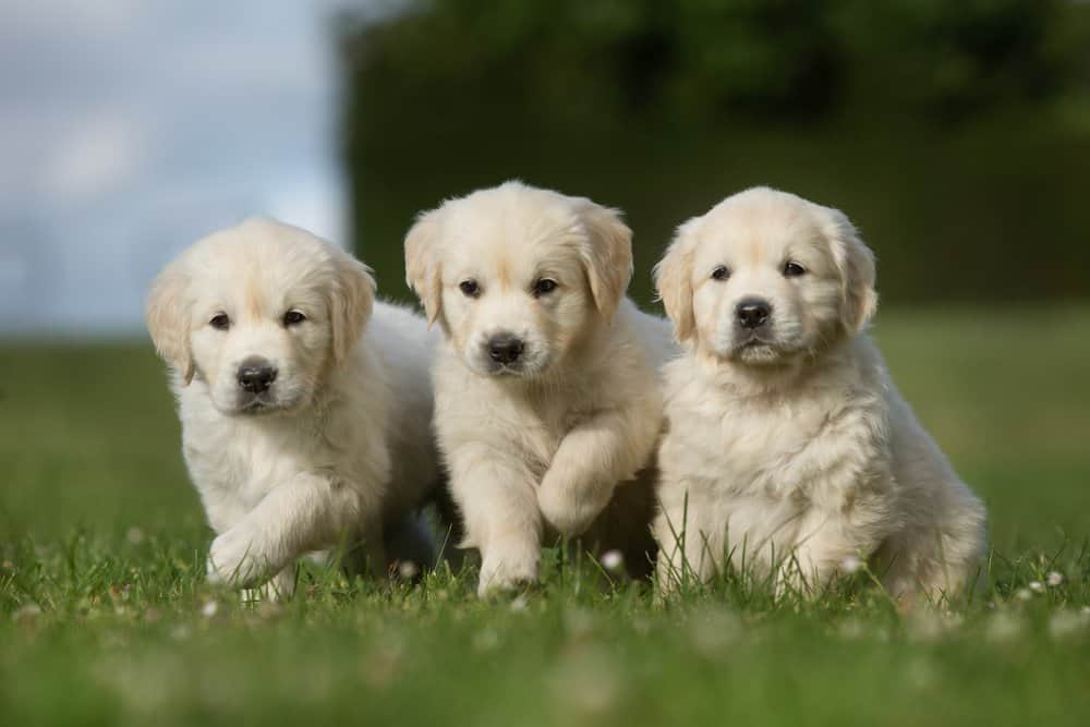 Golden Retriever (Canis familiaris) - golden retriever puppies