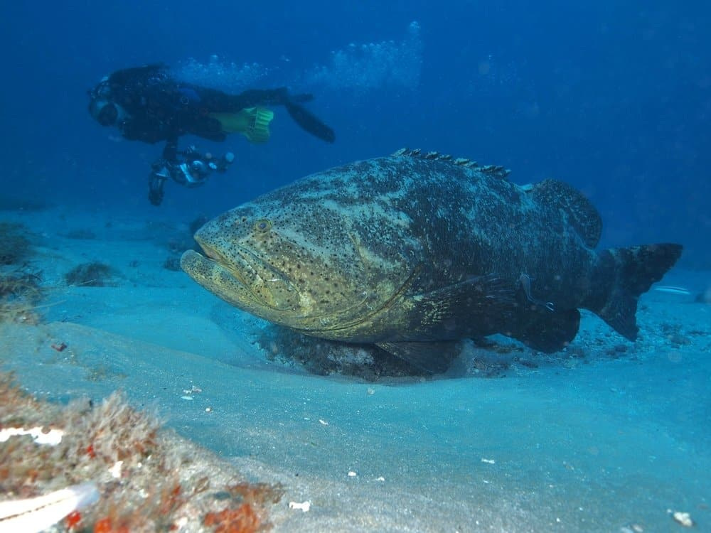 Goliath Grouper (Epinephelus itajara) - strongest fish - can attack sharks