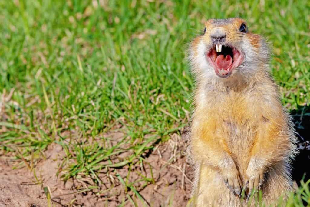 Gopher screams in the meadow