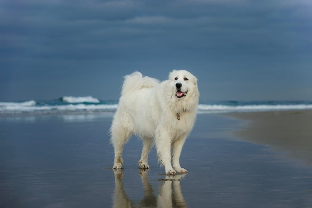 Great Pyrenees at the seaside