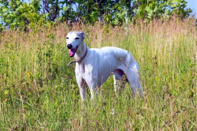 greyhound in the grass