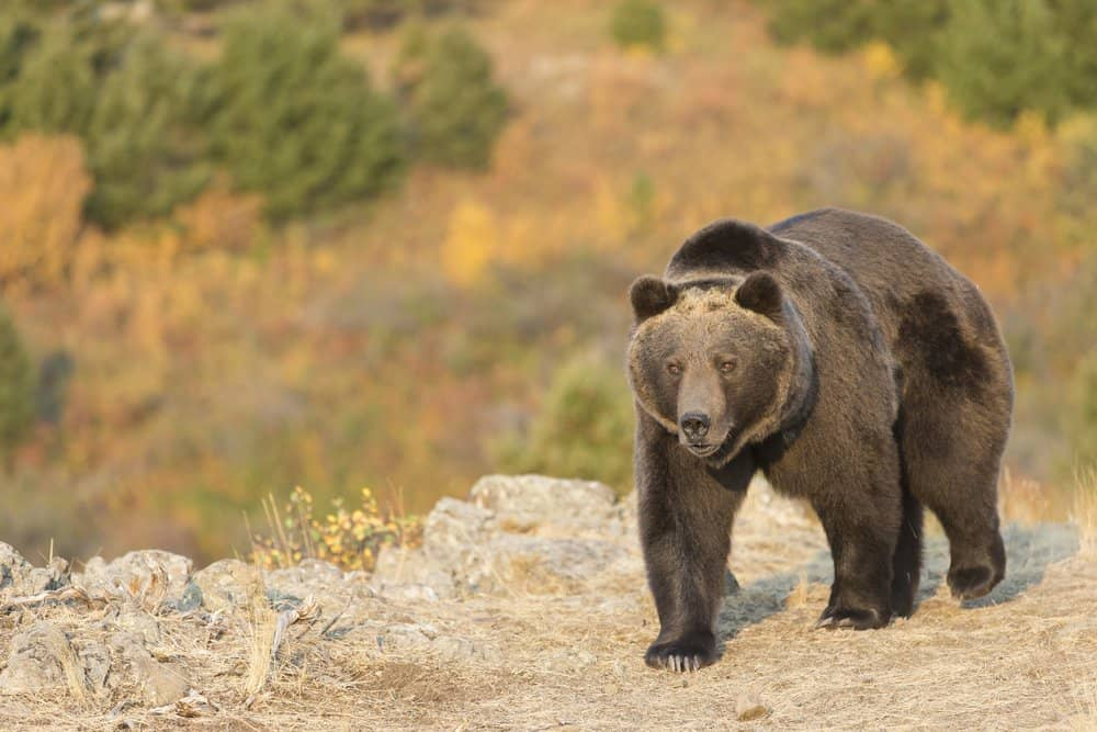 Grizzly Bear (Ursus Arctos Horriblis) - strongest fighter - can lift twice its own weight