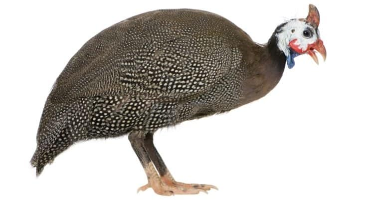 Guinea fowl isolated on white background
