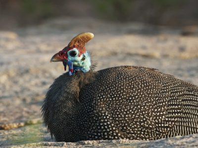 A Guinea Fowl