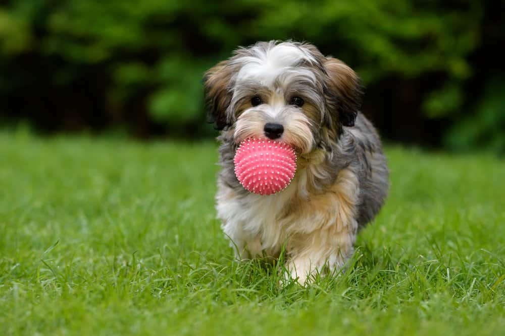 Havanese puppy standing in the grass with a ball in its mouth