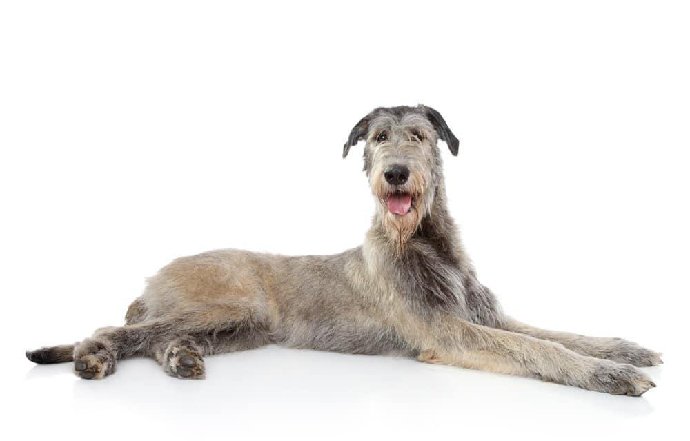 Irish Wolfhound(Canis familiaris)