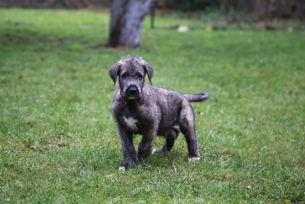 Irish Wolfhound (Canis familiaris) - irish wolfhound puppy