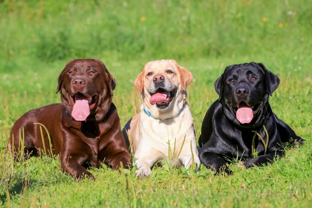 Labrador Retriever (Canis familiaris) - brown, yellow, and black labs