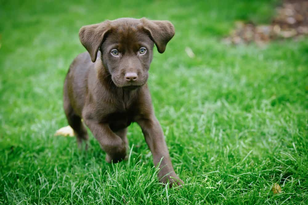 Labrador Retriever (Canis familiaris) - brown labrador puppy