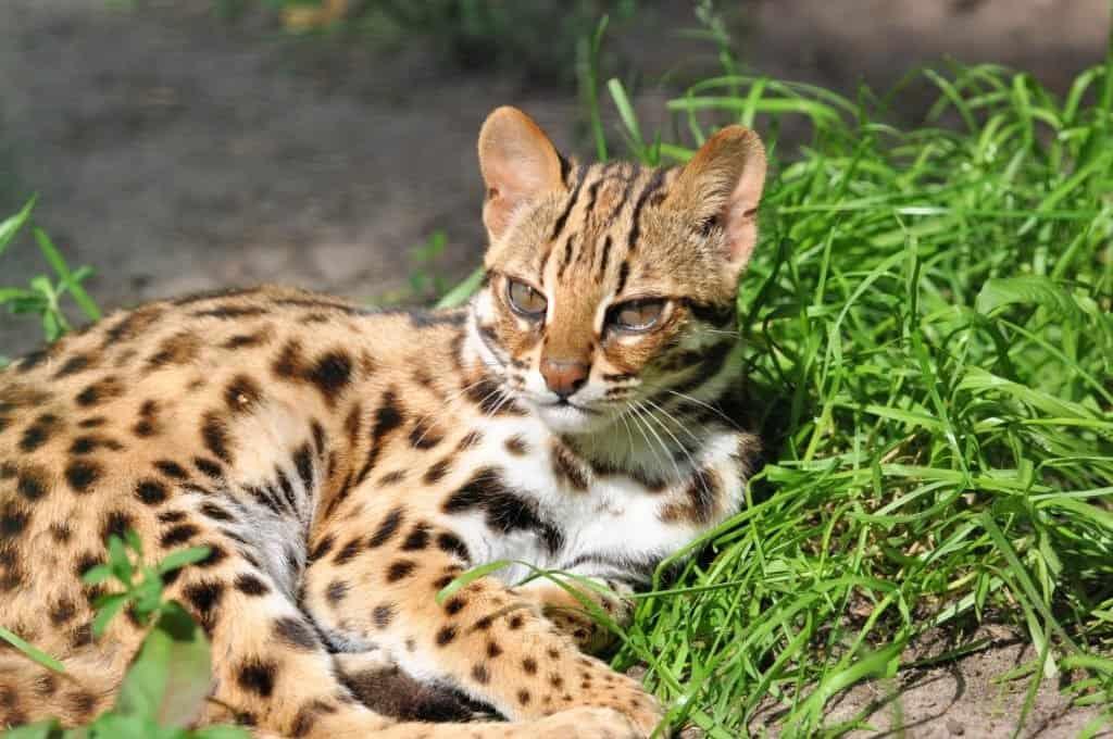Resting Leopard cat