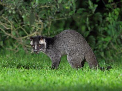 A Masked Palm Civet